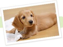 犬コロナウィルス感染症