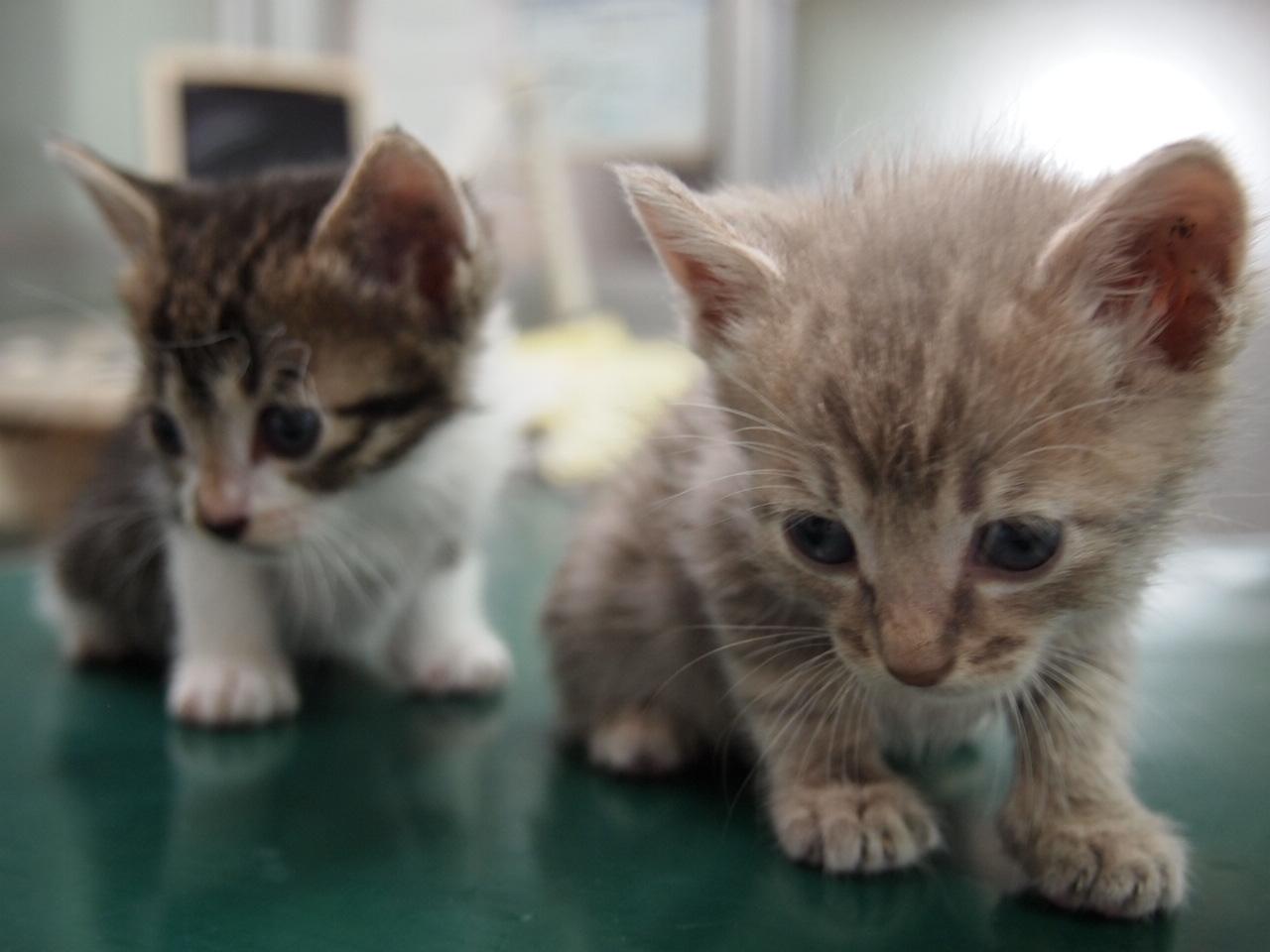かわいい仔猫二匹です!