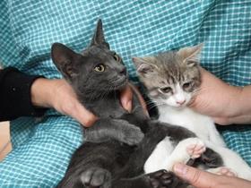 子猫二匹、里親を募集します